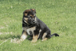 german_shepherd_puppy