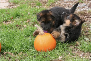 german_shepherd_playing_puppy