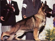 german_shepherd_american