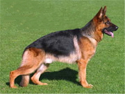 german_shepherd_show_dog