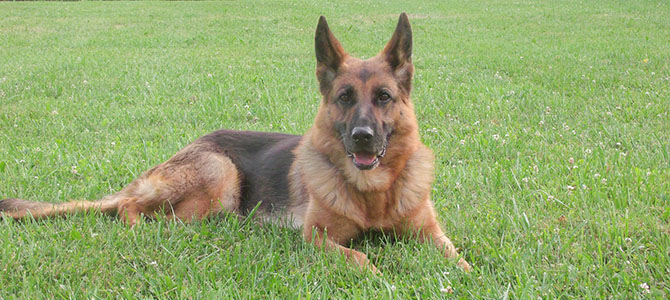 Oasis_German_Shepherd